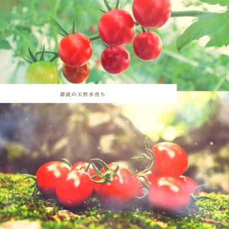 天然水育ち自然にやさしいミニトマト
