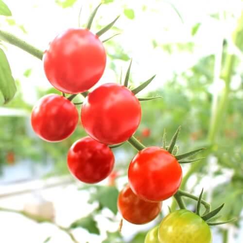 小林農園ミニトマトあまっこたべくらべ