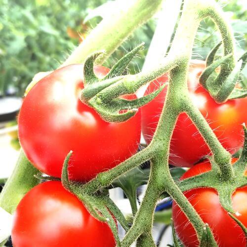 小林農園ミディアムトマトフルーツトマトフルティカ