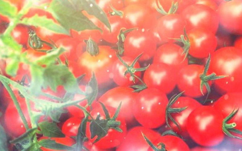 小林農園の完熟トマトを産地直送