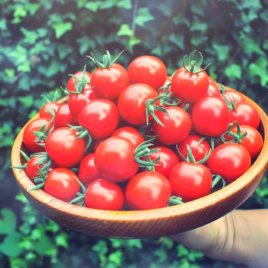 プチっとあまい子どもも大好きミニトマト